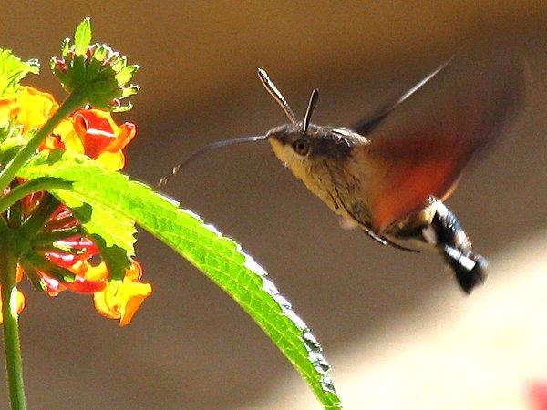 look it 39 s a hummingbird moth. Black Bedroom Furniture Sets. Home Design Ideas