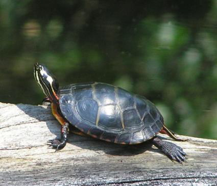 Freshwater Turtles : Freshwater Turtle Species Painted turtlep